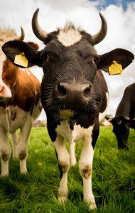 vache élevage